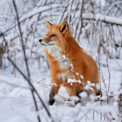 Jigsaw puzzle: Fox in winter