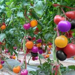 Jigsaw puzzle: Chinese tomatoes