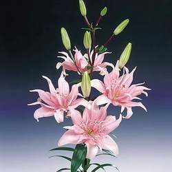 Jigsaw puzzle: Lily