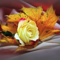 Jigsaw puzzle: Autumn rose