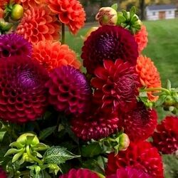 Jigsaw puzzle: Dahlia celebration