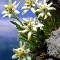 Jigsaw puzzle: Edelweiss