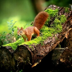 Jigsaw puzzle: Squirrel
