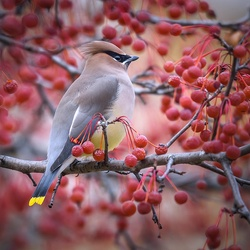 Jigsaw puzzle: American waxwing