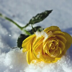 Jigsaw puzzle: Rose in the snow