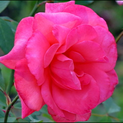 Jigsaw puzzle: Inhaling rose scent