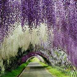 Jigsaw puzzle: Flower Tunnel in Kawachi Fuji Japanese Garden
