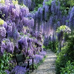 Jigsaw puzzle: Blooming alley. Wisteria.
