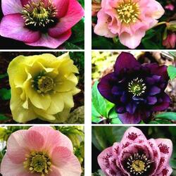 Jigsaw puzzle: Beautiful hellebore flowers