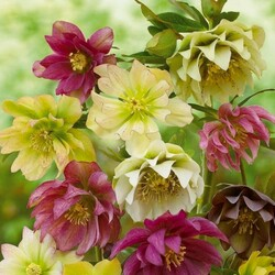 Jigsaw puzzle: Hellebore