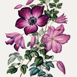 Jigsaw puzzle: Clematis Miss Sowerby