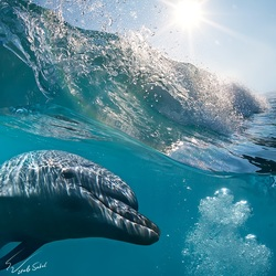 Jigsaw puzzle: Dolphin and wave