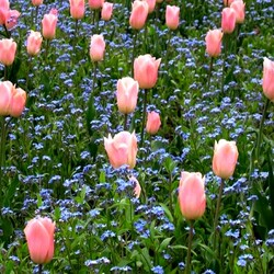 Jigsaw puzzle: Tulips and forget-me-nots