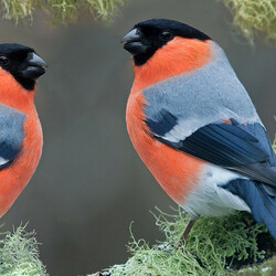 Jigsaw puzzle: Pair of bullfinches