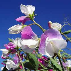 Jigsaw puzzle: Sweet peas against the sky